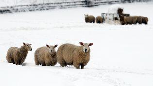 Sur le col du Glandon (Savoie), un troupeau de moutons est coincé à 2 000 mètres d'altitude par plus d'un mètre de neige (Image d'illustration). (ANDREW YATES / AFP)