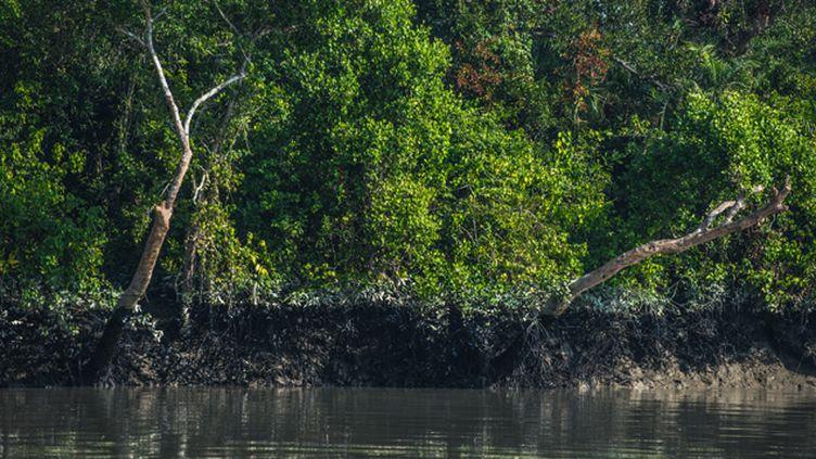 (Le fioul s'est dispersé dans toute la mangrove, laissant des traînées noires sur les rives de la jungle © Gilles Bonugli Kali)