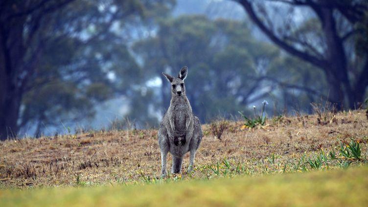 Un kangourou près d'une zone résidentielle de Merimbula (Nouvelle-Galles du Sud), en Australie, le 6 janvier 2020. (SAEED KHAN / AFP)