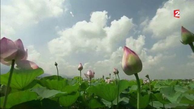 Chine : les deux visages du lotus