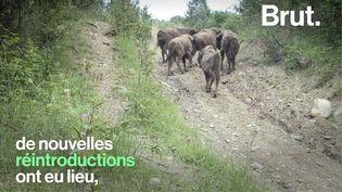 VIDEO. Comment les bisons d'Europe ont-ils été sauvés de l'extinction ? (BRUT)