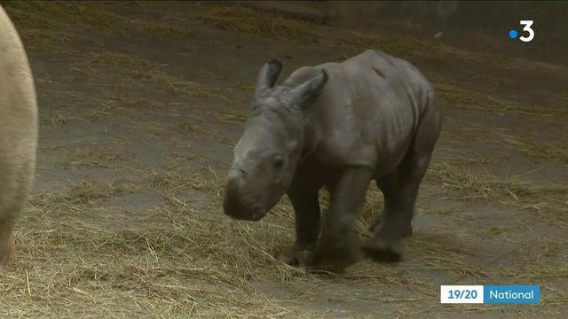 Animaux : une femelle rhinocéros blanc est née dans parc animalier de Peaugres en Ardèche