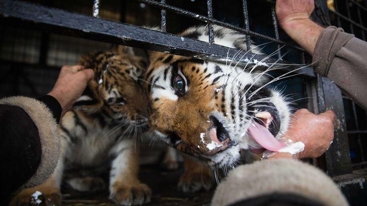 L'abattage d'un tigre, qui s'était échappé d'un cirque vendredi 24 novembre à Paris, a relancé le débat sur la présence d'animaux sauvages dans les spectacles (photo d'illustration). (DAVID TESINSKY/SVOBODNE FORUM/SIPA)