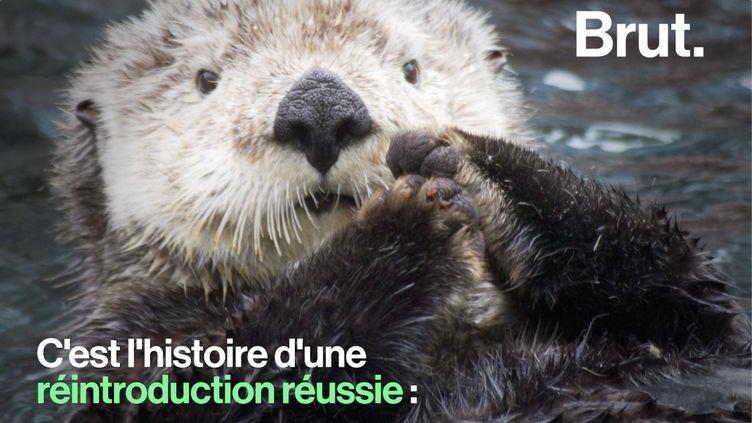 VIDEO. Au Canada, la restauration des loutres de mer est un succès (BRUT)