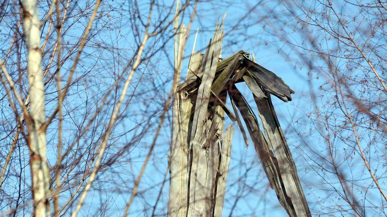 Un arbre au lendemain de la tempête du 26 décembre 1999. (THIERRY GACHON / MAXPPP)