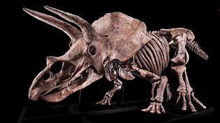 """Dinosaure : """"Big John"""", le tricératops mis aux enchères. (FRANCE 2)"""