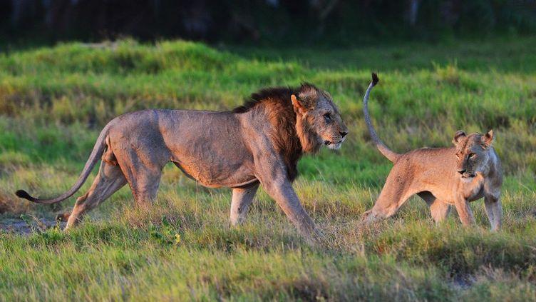 Des lions sauvages dans le parc national Amboseli, au Kenya, le 13 mars 2013. (CARL DE SOUZA / AFP)