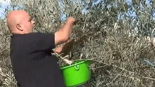 Récolte d'olives (FRANCE 2)