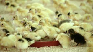Des canetons dans un élevage de Baigts (Landes), en mai 2017. (IROZ GAIZKA / AFP)