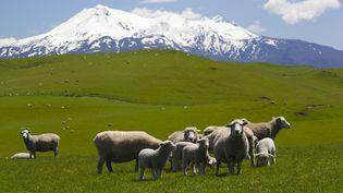 Des moutons, dans parc national de Tongariro, en Nouvelle-Zélande, le 11 novembre 2013. (STUART BLACK / ROBERT HARDING PREMIUM / AFP)