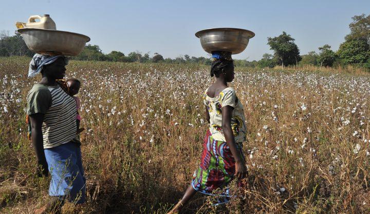 Femmes marchant le long d'un champ de coton situé dans le village de Tangafla, près de la ville de Korhogo (nord de la Côte d'Ivoire), le 10 décembre 2011. (ISSOUF SANOGO / AFP)