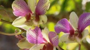 Depuis 40 ans, Bob Stirrup cultive des orchidées en Nouvelle-Calédonie. Pour faire vivre ses fleurs il n'utilise pas de serres, mais la pleine nature. (France 3)