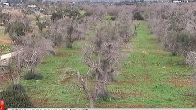 Corse : découverte d'une bactérie tueuse d'oliviers
