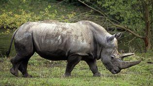 Les cornes de rhinocéros sont vendues entre 40 000 et 50 000 euros le kilo sur le marché noir. (AlainGuerrier / Horizon Features / Leemage)
