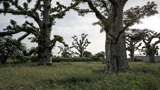 Baobabs dans la forêt de Bandia, au sud de Dakar au Sénégal, le 25 septembre 2019. (JOHN WESSELS / AFP)