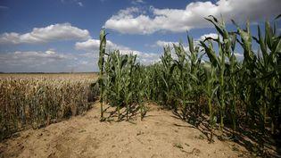 Un champ de maïs affecté par la sécheresse à Oisy-le-Verger (Pas-de-Calais), le 17 juillet 2015. (PASCAL ROSSIGNOL / REUTERS)