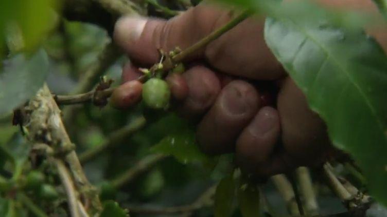 En Colombie, le gouvernement incite les paysans à abandonner la culture de la coca pour celle du café. France 2 a rencontré un petit producteur, sur les anciennes terres exploitées par les narcotrafiquants. (FRANCE 2)