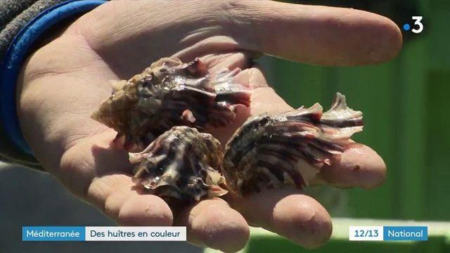 Hérault : des huîtres colorées uniques à Bouzigues