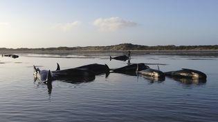 Des baleines-pilotes échouées sur une plage de la presqu'île de Farewell, dans le nord de l'Ile du Sud de la Nouvelle-Zélande, le 14 février 2015. (MAXPPP)