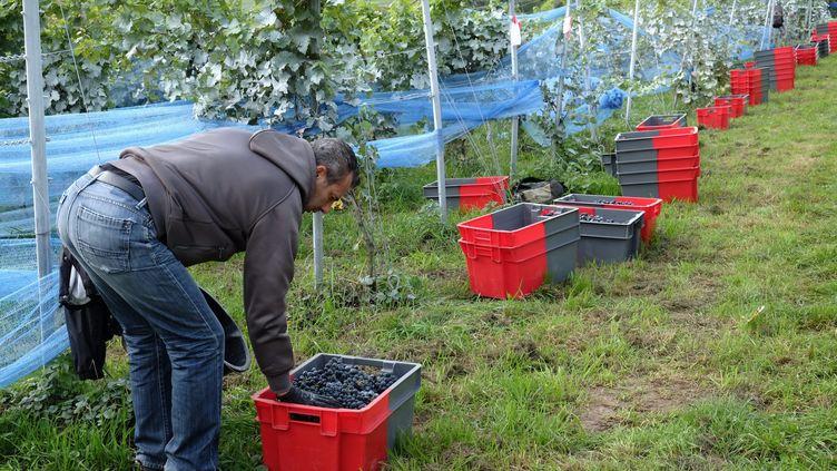 Les vendanges dans un vignoble en Belgique. (MICHEL HOUET / MAXPPP)
