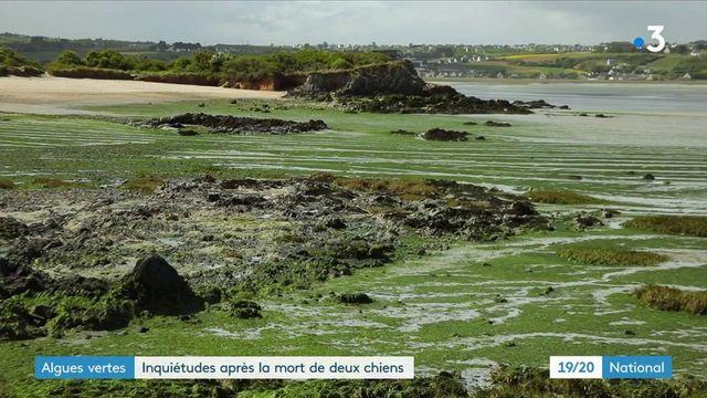 Algues vertes en Bretagne : vive inquiétude après la mort de deux chiens