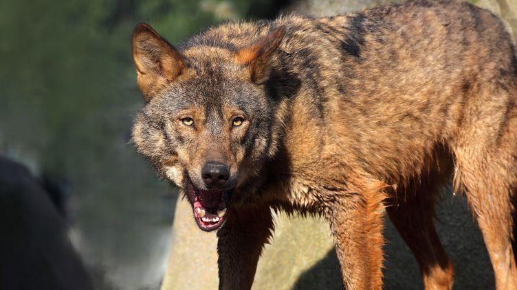 Le loup d'Espagne (Canis lupus signatus) au Parc zoologique de Paris, le 5 mai 2015. (MANUEL COHEN / AFP )