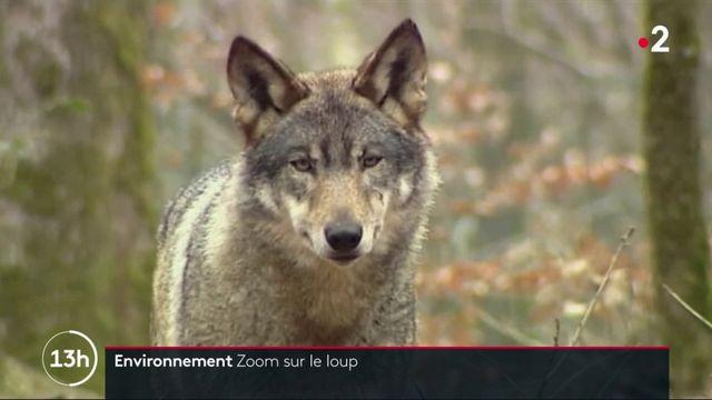Quelle situation pour le loup en France ?