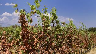 Des vignes victimes de la canicule en région Occitanie, le 4 juillet 2019. (GUILLAUME BONNEFONT / MAXPPP)