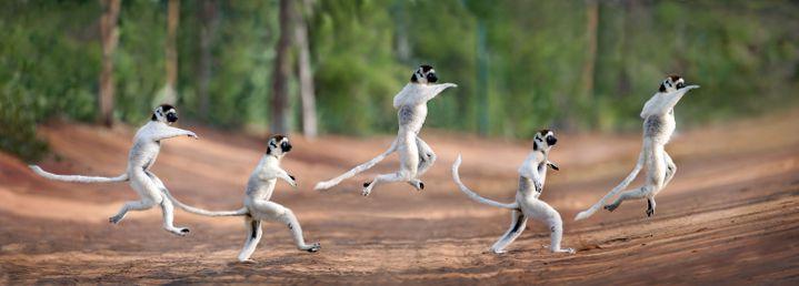 """Des lémuriens batifolent au milieu d'une forêt à Madagascar le 24 juillet 2018. Comme Travolta dans le film """"La fièvre du samedi soir"""" de John Baddam (sorti en 1977)... (CATERS/SIPA / CATERS NEWS AGENCY)"""