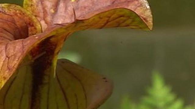 Une plante carnivore pour se débarrasser des frelons asiatiques ?