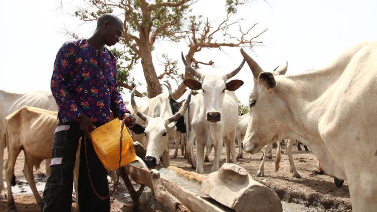 Un éleveur fulani, Peul du Nigeria, abreuve son troupeau du côté de la ville de Yola. (EMMANUEL AREWA / AFP)