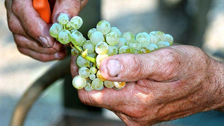Contrairement à ce vendangeur de Pessac (Gironde) photographié en août 2013, un vigneron bordelais n'a pas pu vendanger une de ses parcelles, dont le raisin avait déjà été récolté par des inconnus. (MAXPPP)