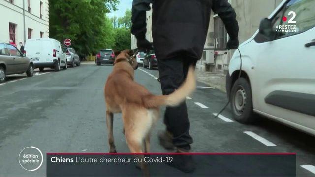 Coronavirus : des chiens capables de détecter les personnes positives