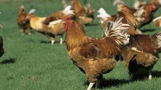 Un poulet à Loué (Sarthe), en juillet 2008. (GUY DURAND / PHOTONONSTOP / AFP)