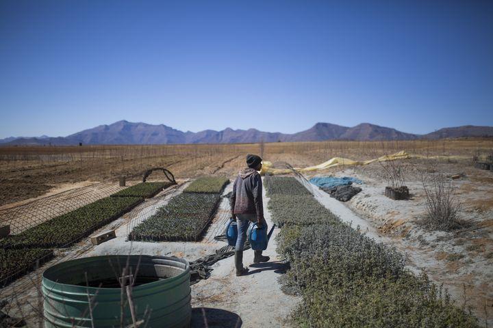 Culture de cannabis près de Maseru, la capitale du Lesotho (9 août 2019) (GUILLEM SARTORIO / AFP)