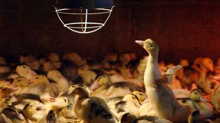 En 2010, la France a produit 19 500 tonnes de foie gras, soit les trois quarts de la production mondiale. (MATHIEU BELANGER / REUTERS)