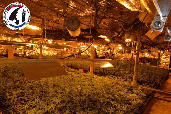 Image communiquée par la Direction interrégionale de la police judiciaire de Lille montrant une plantation de cannabis. (POLICE NATIONALE)