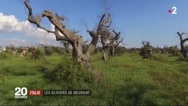 Italie : les oliviers se meurent