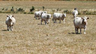 Des vaches dans un champs sec de la Creuse, le 20 juillet 2019. (GEORGES GOBET / AFP)