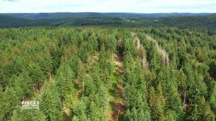 Pièces à conviction. Réchauffement climatique : les épicéas du Morvan décimés par la sécheresse et les invasions de scolytes (PIÈCES A CONVICTION / FRANCE 3)
