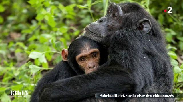 """VIDEO. Ouganda : """"Les chimpanzés sont exposés aux pesticides et à une pollution plastique au cœur de la forêt tropicale"""", alerte la primatologue Sabrina Krief"""