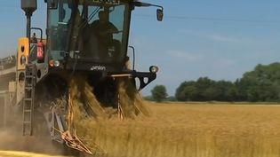 C'est le temps de la moisson pour le lin. La France en est le premier producteur mondial, et la céréale est de plus en plus demandée. (FRANCE 3)