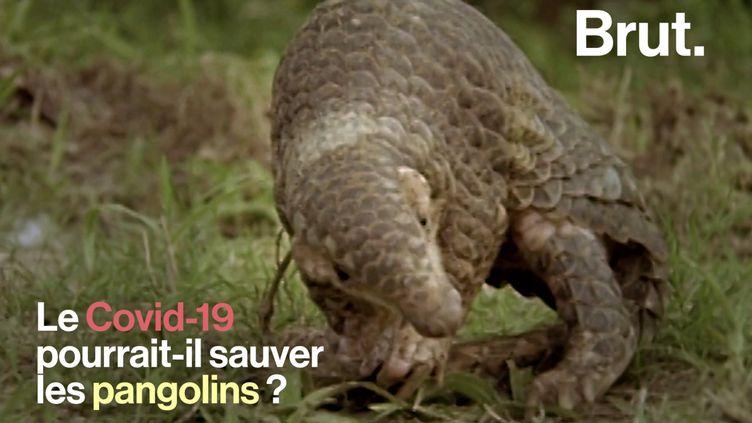 VIDEO. Le Covid-19 pourrait-il sauver les pangolins ? (BRUT)