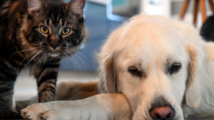 Leschiens et chats peuvent être contaminés par le variant B.1.1.7 du coronavirus, mais le risque de transmission à leurs propriétaires est faible. (MAXPPP)