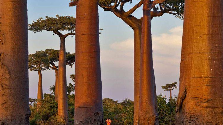 """A Madagascar, les """"arbres bouteilles"""" sont précieux en période de sécheresse. (Géo  Pascal Maitre)"""