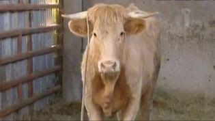 Saint-Romain-de-Popey, dans le Rhône, la vache rebelle est remise dans son enclos;, le 9 juin 2015 ( FRANCE 3 CÔTE-D'AZUR)
