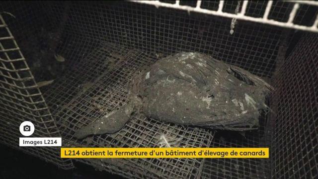 Bien-être animal : les images stupéfiantes d'un élevage de canards dévoilées par L214