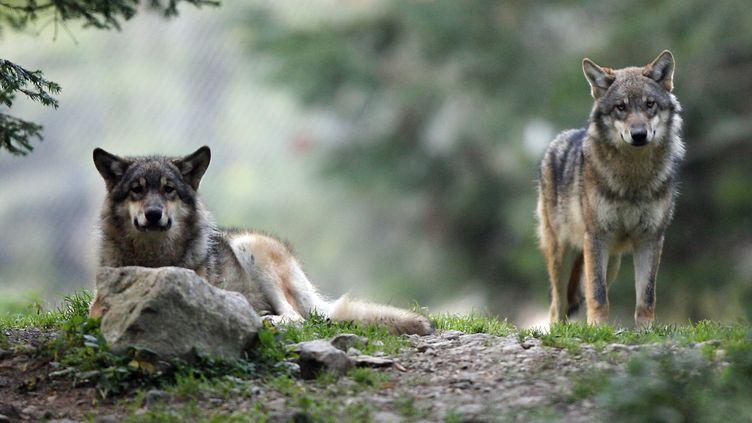 Deux loups dans le Mercantour pendant une capture. (VALERY HACHE / AFP)