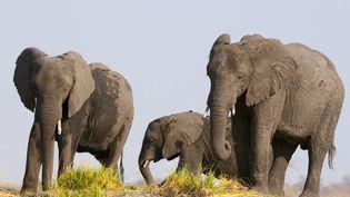 Des éléphants dans la réserve naturelle de Chobe, au Botswana, le 12 septembre 2019. (SERGIO PITAMITZ / BIOSPHOTO / AFP)