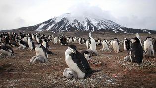 Une colonie de manchots à jugulaire photographiée sur l'île volcanique de Zavodovski en Antarctique, le 16 janvier 2015. (BBC)